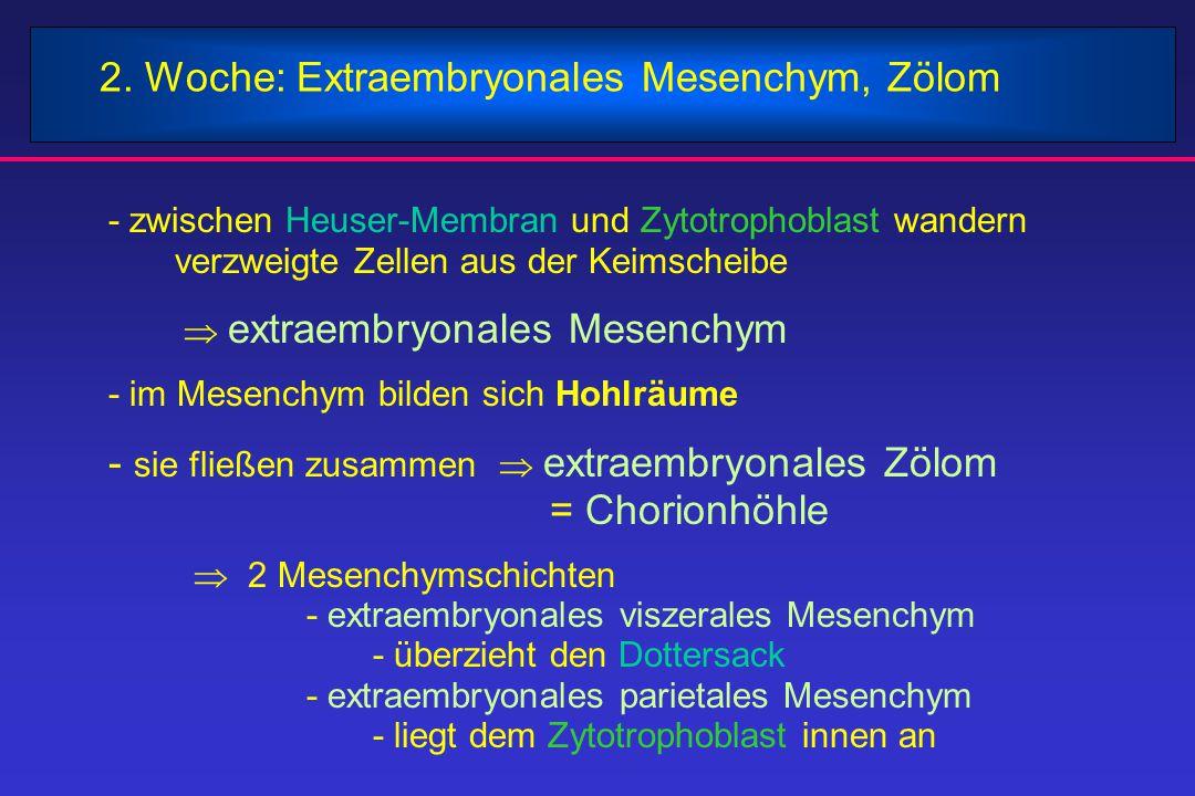 2. Woche: Extraembryonales Mesenchym, Zölom