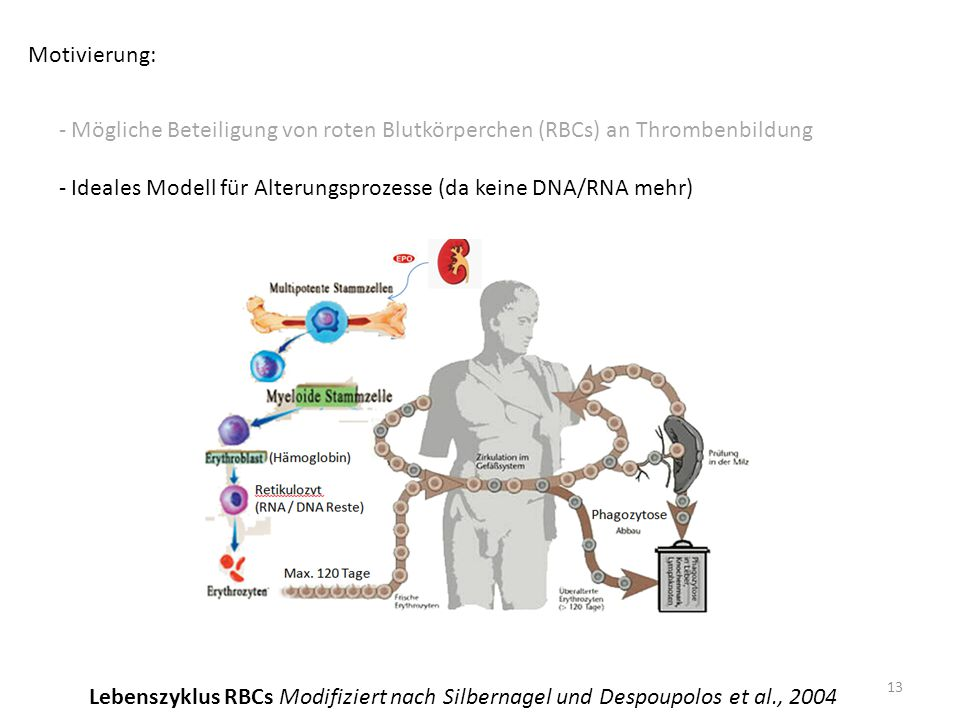 Motivierung: Mögliche Beteiligung von roten Blutkörperchen (RBCs) an Thrombenbildung. Ideales Modell für Alterungsprozesse (da keine DNA/RNA mehr)