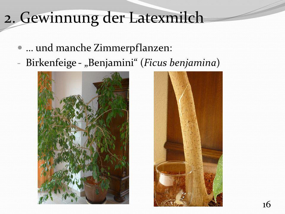 2. Gewinnung der Latexmilch