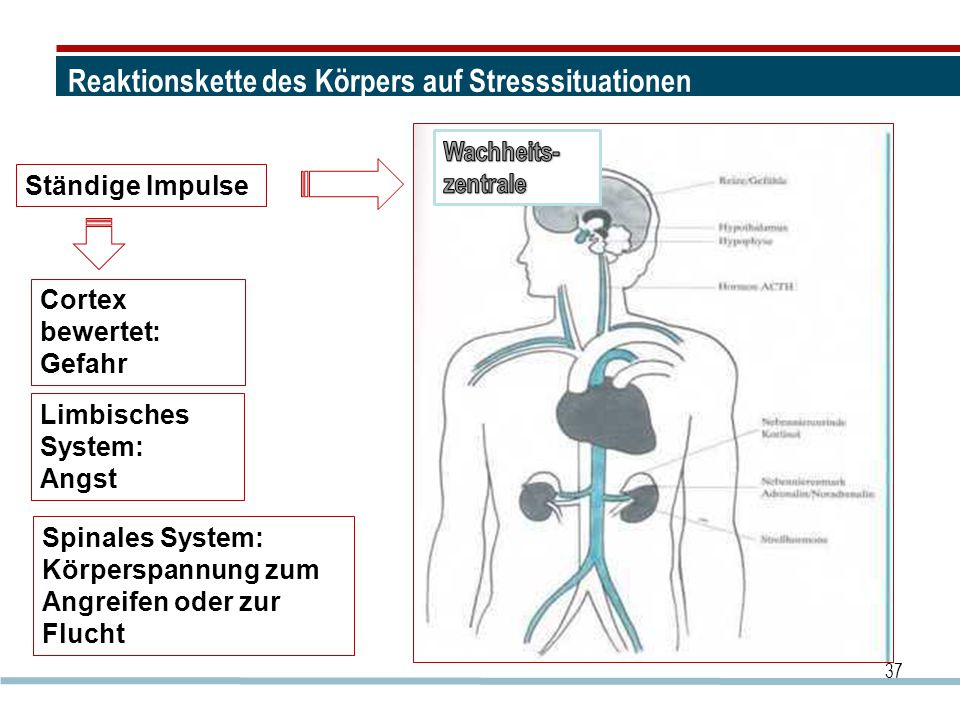 Reaktionskette des Körpers auf Stresssituationen