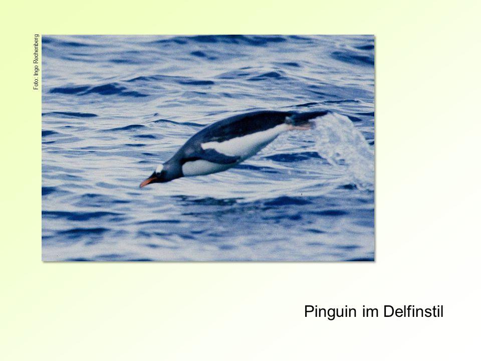Foto: Ingo Rechenberg Pinguin im Delfinstil