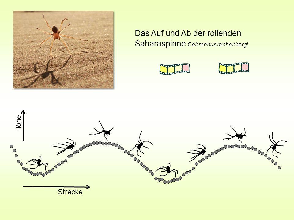 Das Auf und Ab der rollenden Saharaspinne Cebrennus rechenbergi