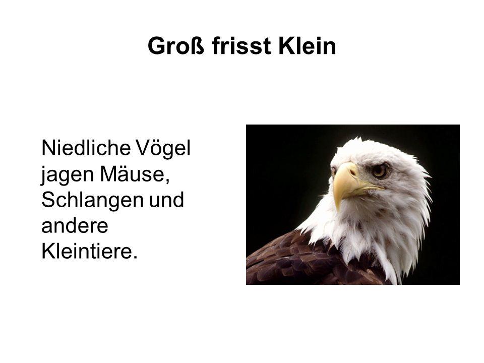 Groß frisst Klein Niedliche Vögel