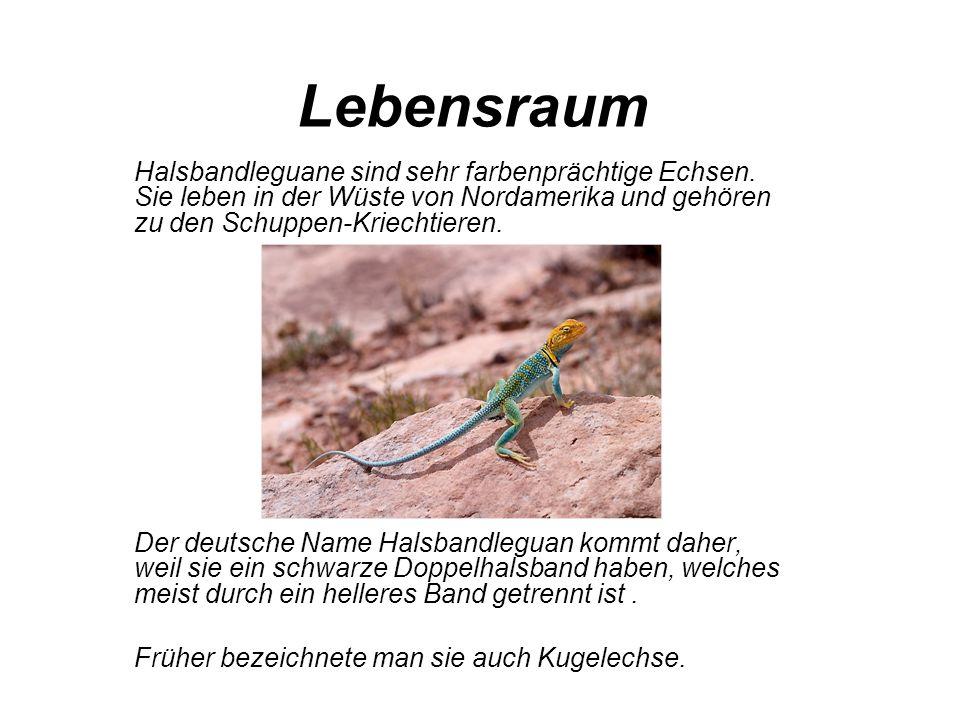 Lebensraum Halsbandleguane sind sehr farbenprächtige Echsen. Sie leben in der Wüste von Nordamerika und gehören zu den Schuppen-Kriechtieren.
