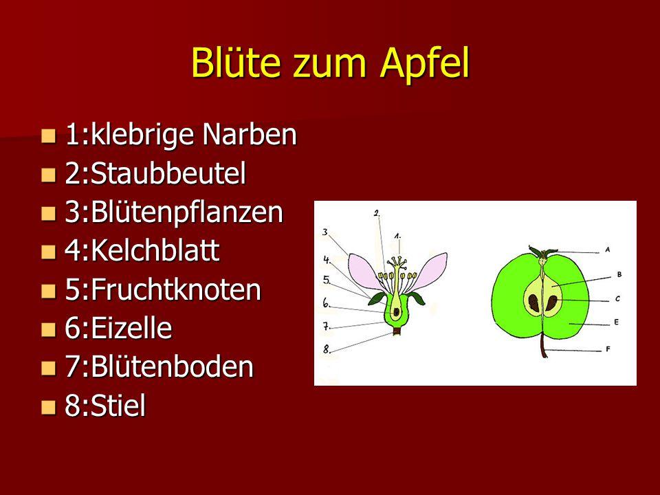 Blüte zum Apfel 1:klebrige Narben 2:Staubbeutel 3:Blütenpflanzen