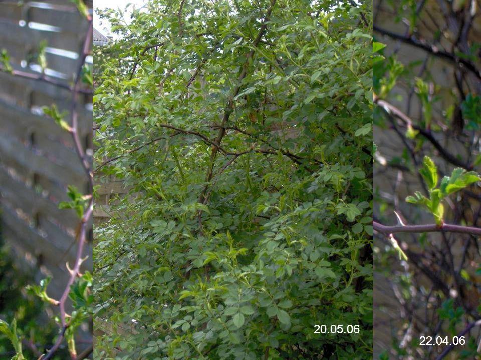 Wildrose Wildrose = Rosenklasse der nicht gekreutzten Gattung der Rosen. Wildrose aus der Unterfamilie Rosoideae in der Familie der Rosengewächse.