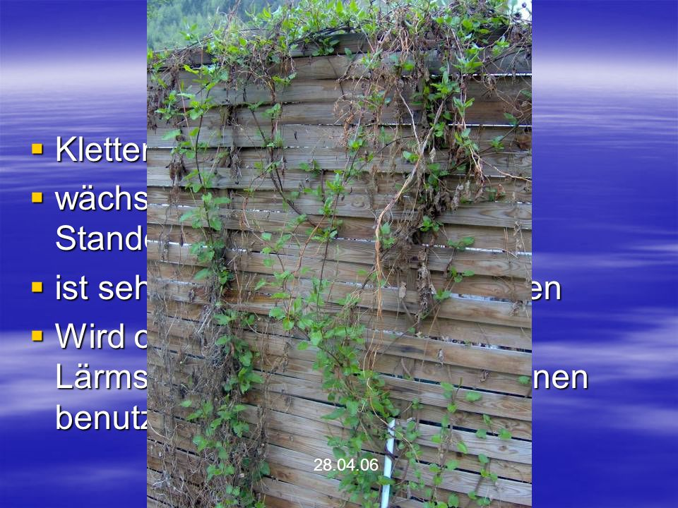 Schlingenknöterich Kletter- und Schlingpflanze
