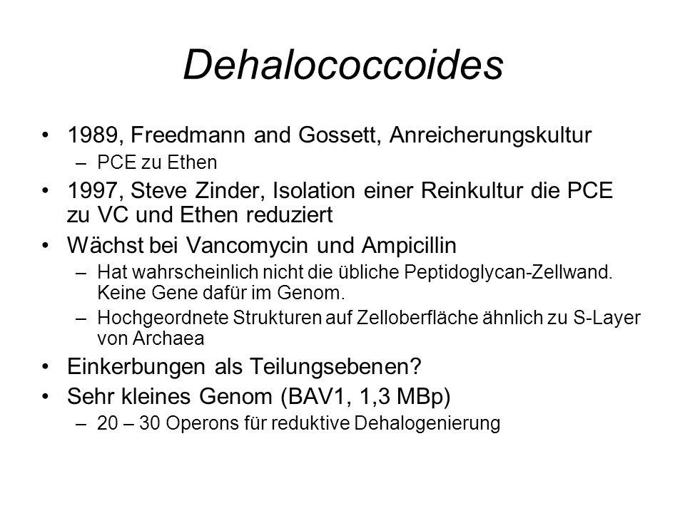 Dehalococcoides 1989, Freedmann and Gossett, Anreicherungskultur