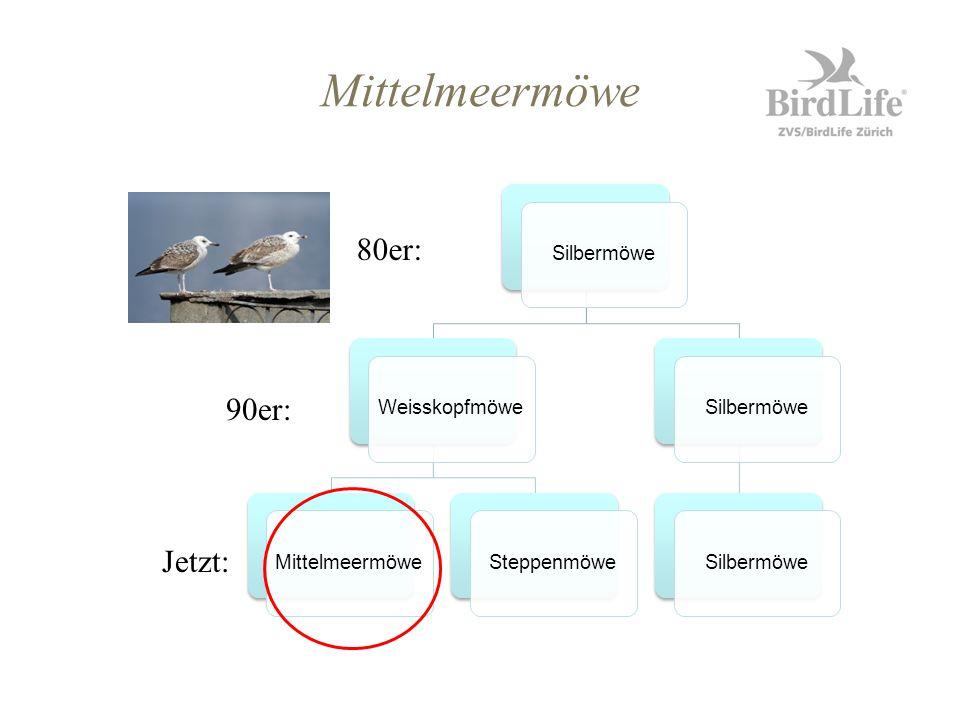 Mittelmeermöwe 80er: 90er: Jetzt: Silbermöwe Weisskopfmöwe