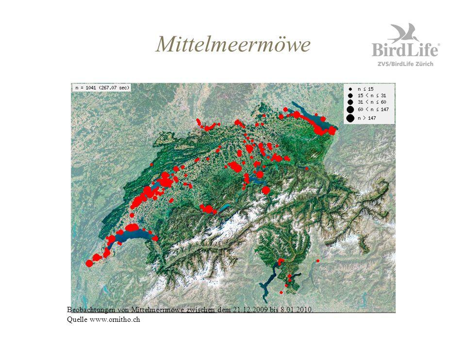 Mittelmeermöwe Beobachtungen von Mittelmeermöwe zwischen dem 21.12.2009 bis 8.01.2010.