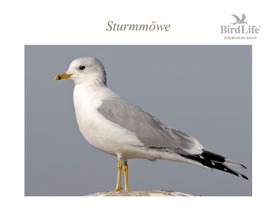 Sturmmöwe