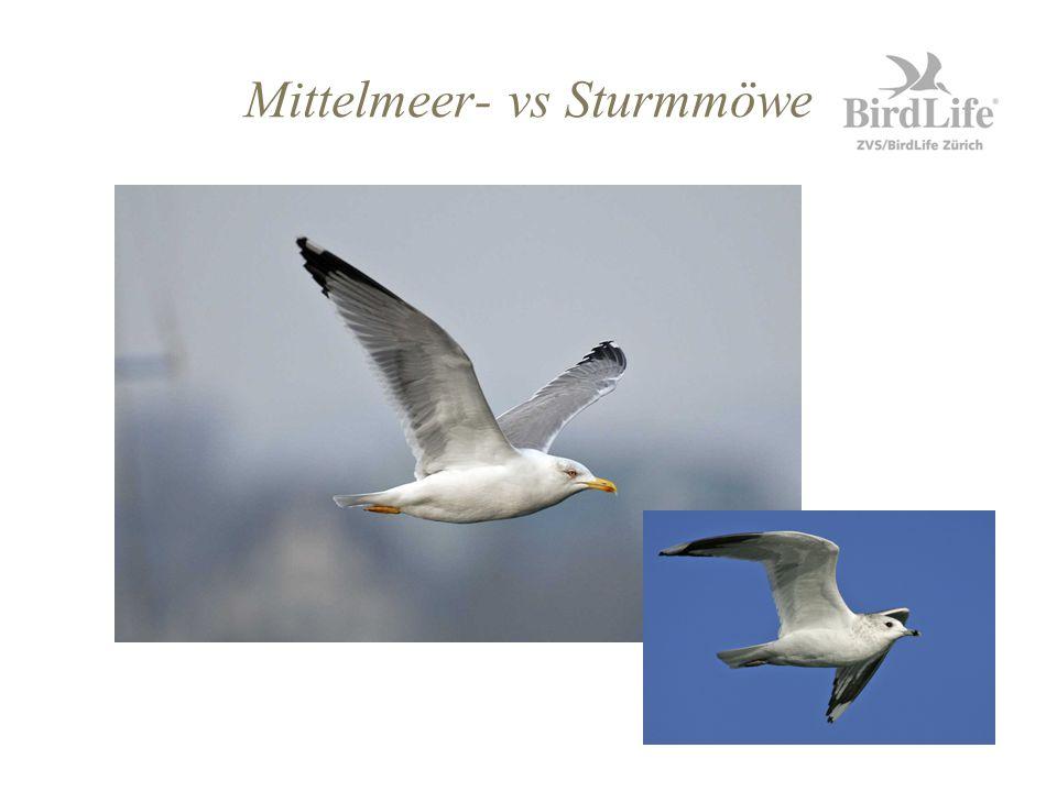Mittelmeer- vs Sturmmöwe