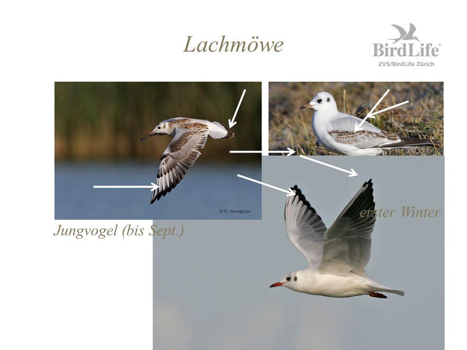 Lachmöwe erster Winter Jungvogel (bis Sept.)