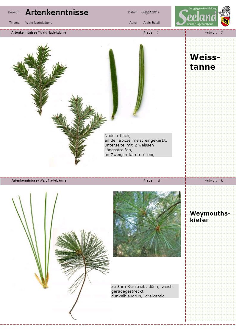 Weiss-tanne Weymouths- kiefer Nadeln flach,