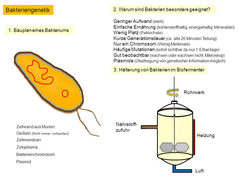 Bakteriengenetik 2. Warum sind Bakterien besonders geeignet