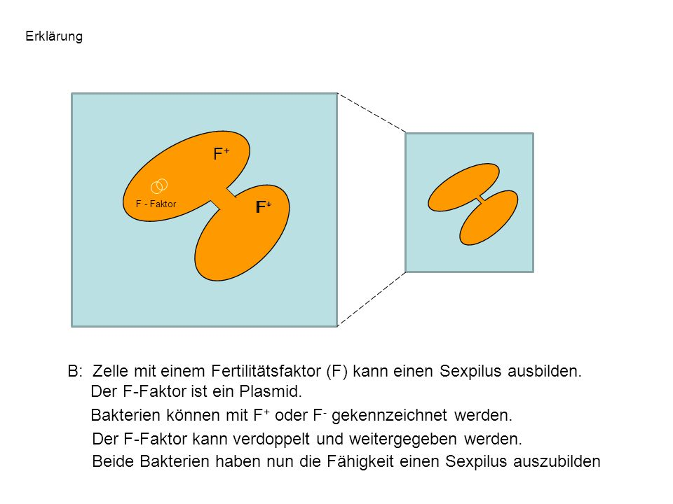 Bakterien können mit F+ oder F- gekennzeichnet werden.