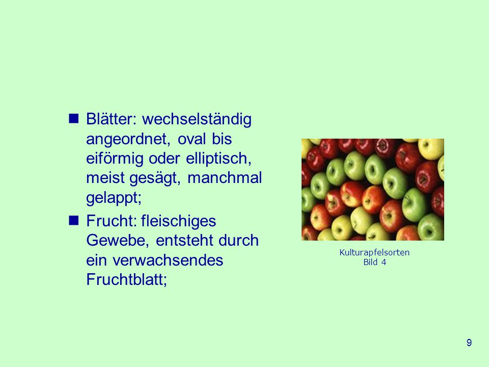 Blätter: wechselständig angeordnet, oval bis eiförmig oder elliptisch, meist gesägt, manchmal gelappt;