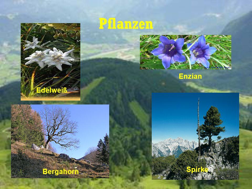 Pflanzen Enzian Edelweiß Spirke Bergahorn