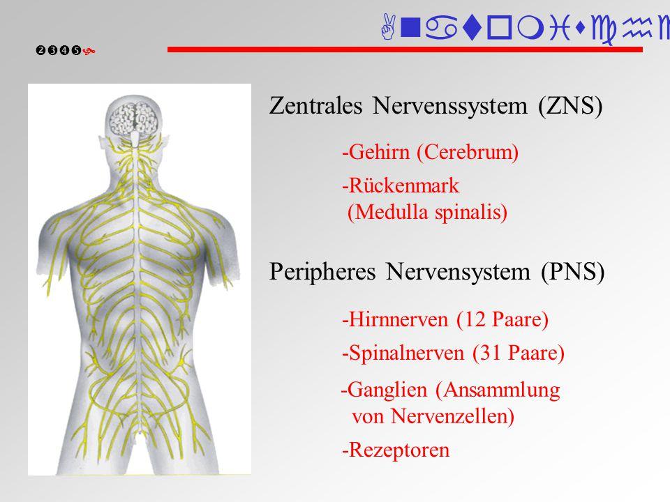 Anatomische Einteilung
