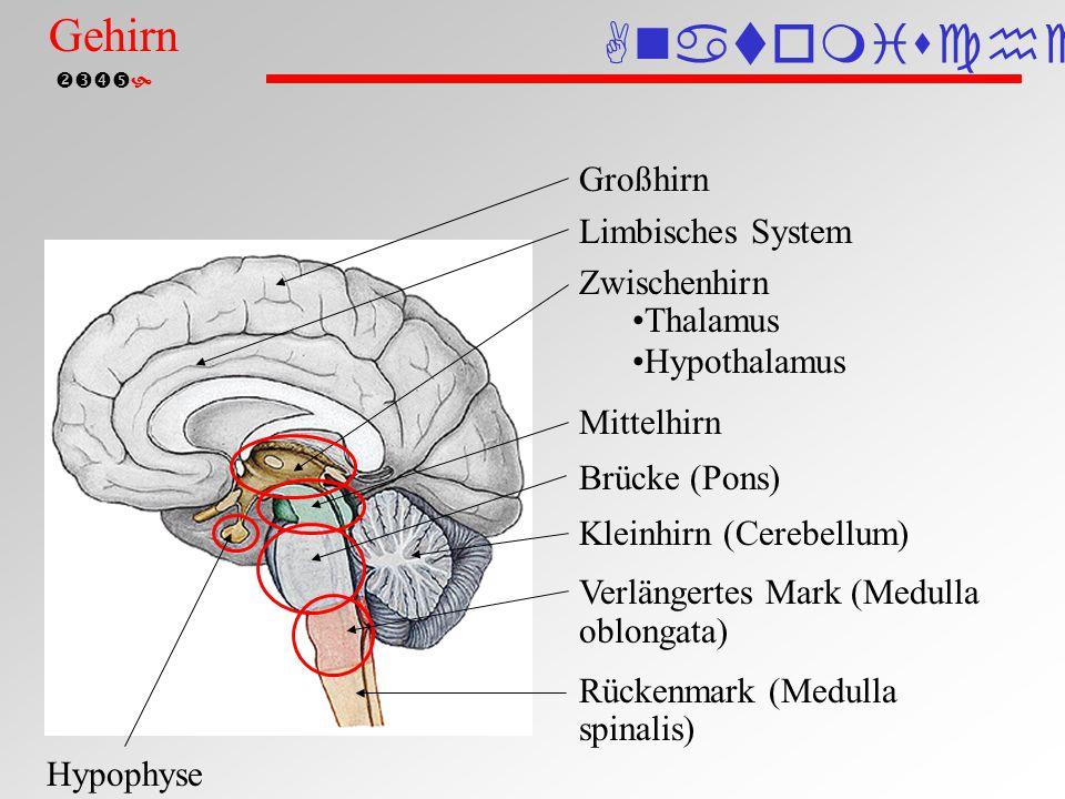 Gehirn Anatomische Einteilung Gehirn Großhirn Limbisches System