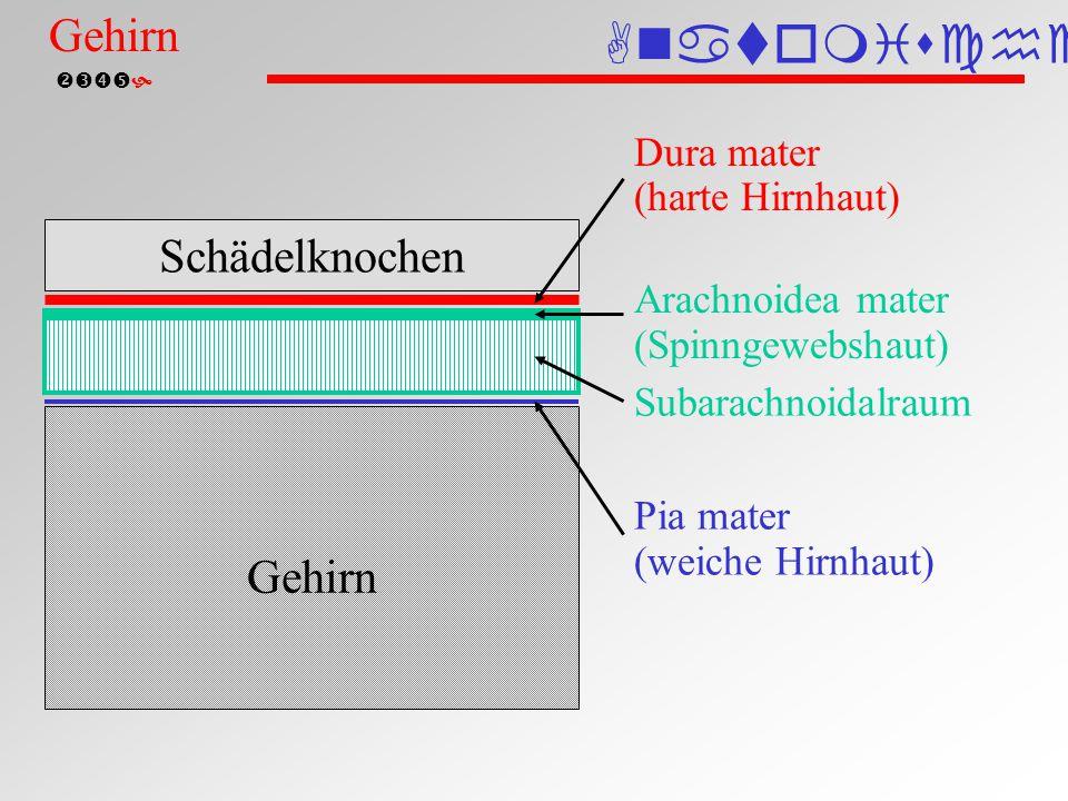 Hirnhäute (schematisch)