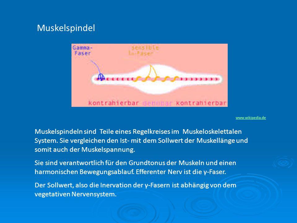Muskelspindel www.wikipedia.de.