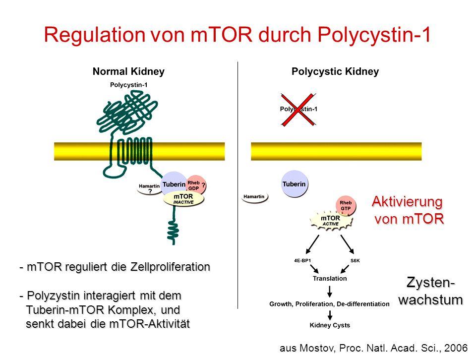 Regulation von mTOR durch Polycystin-1