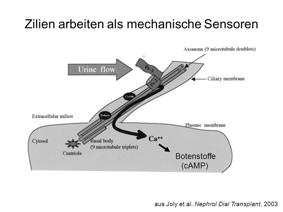 Zilien arbeiten als mechanische Sensoren