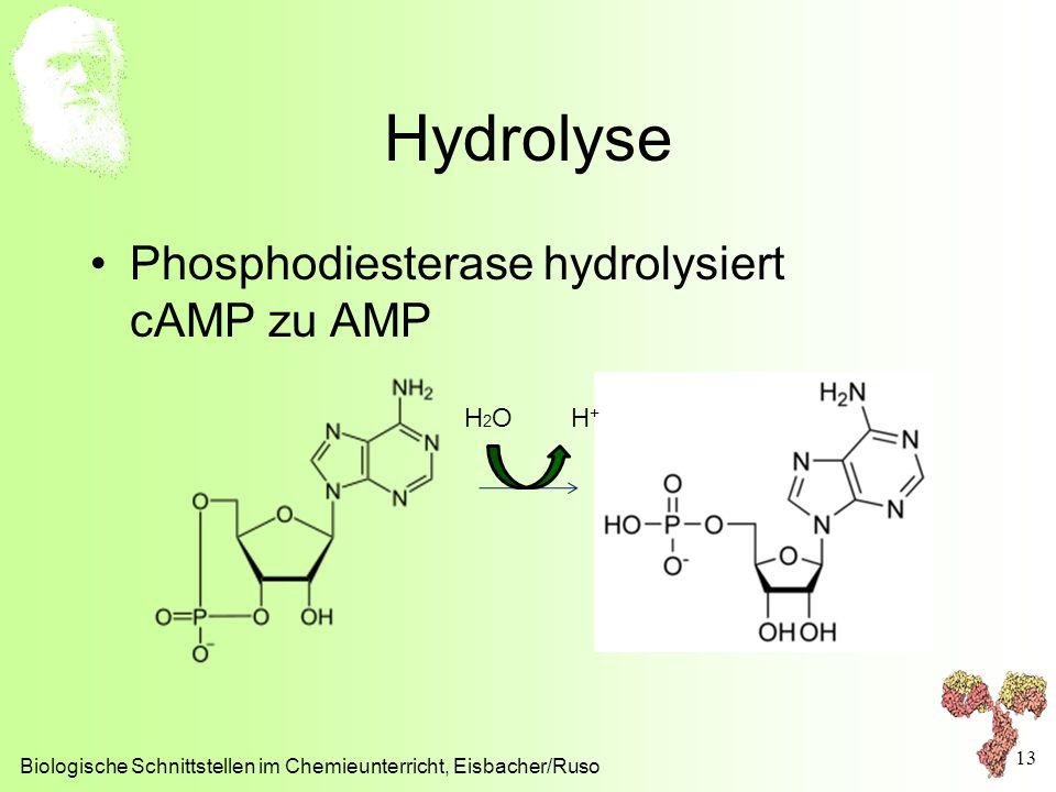 Hydrolyse Phosphodiesterase hydrolysiert cAMP zu AMP H2O H+