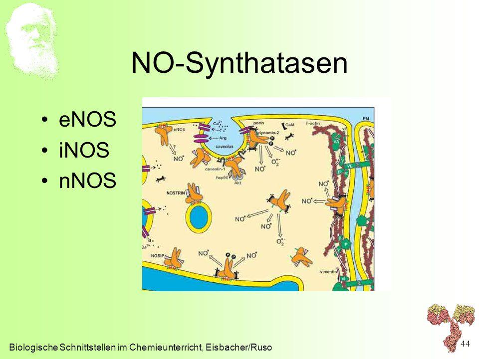 NO-Synthatasen eNOS iNOS nNOS