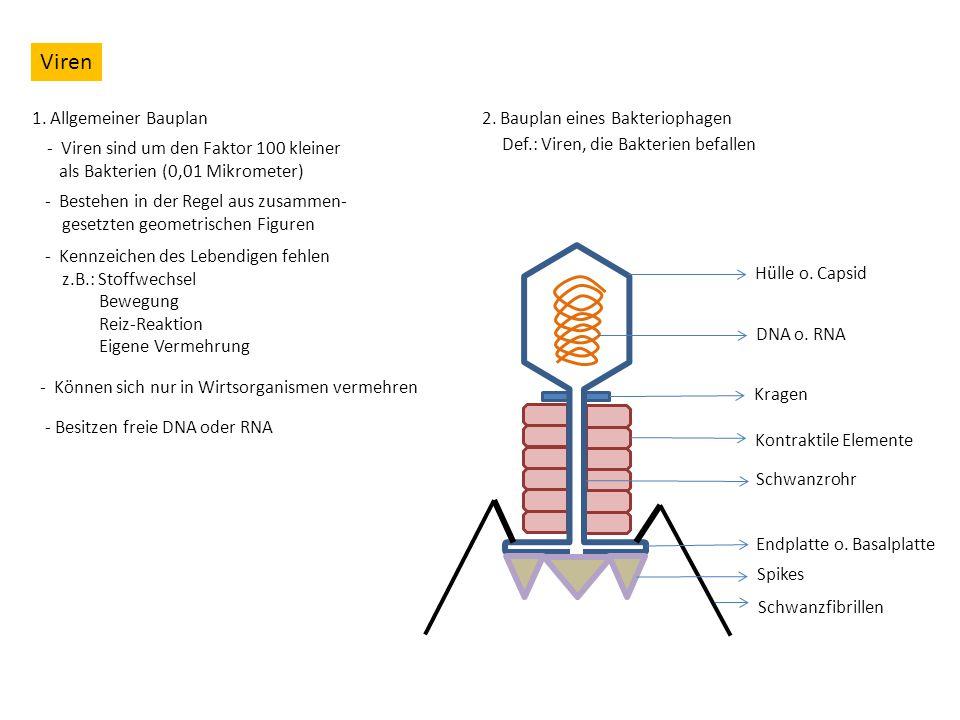 Viren 1. Allgemeiner Bauplan 2. Bauplan eines Bakteriophagen