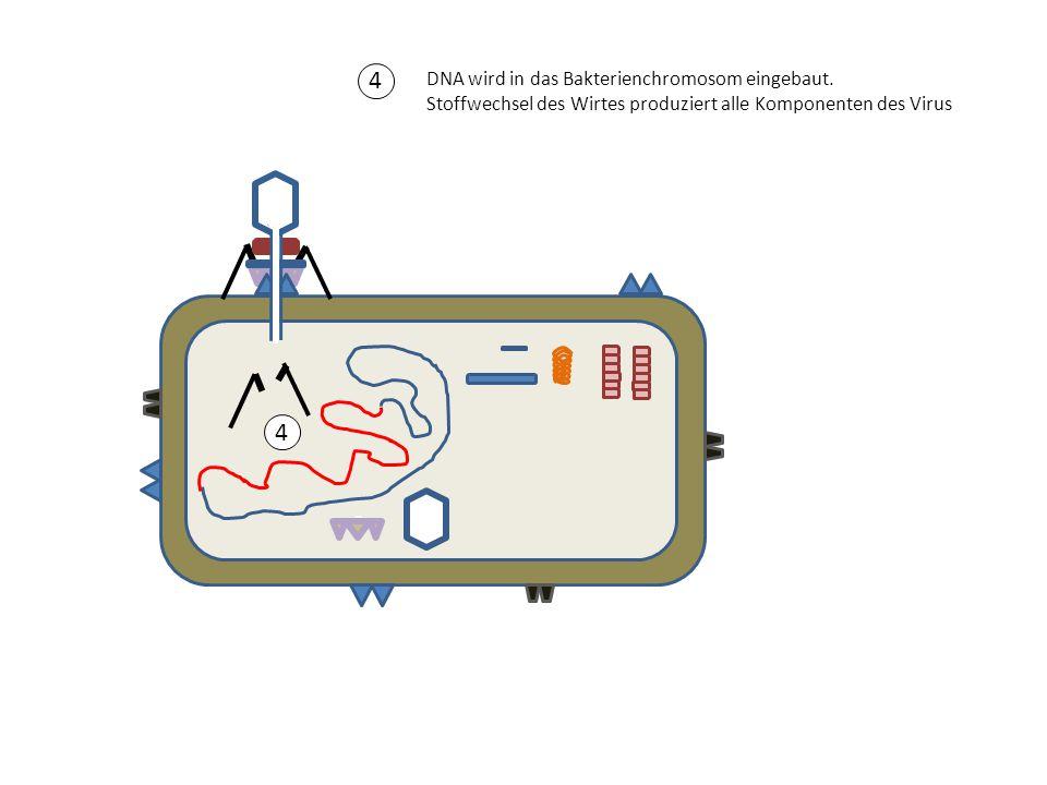 4 DNA wird in das Bakterienchromosom eingebaut. Stoffwechsel des Wirtes produziert alle Komponenten des Virus.
