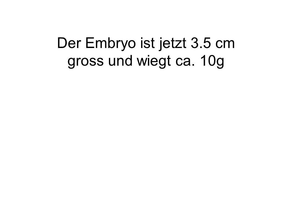 Der Embryo ist jetzt 3.5 cm gross und wiegt ca. 10g