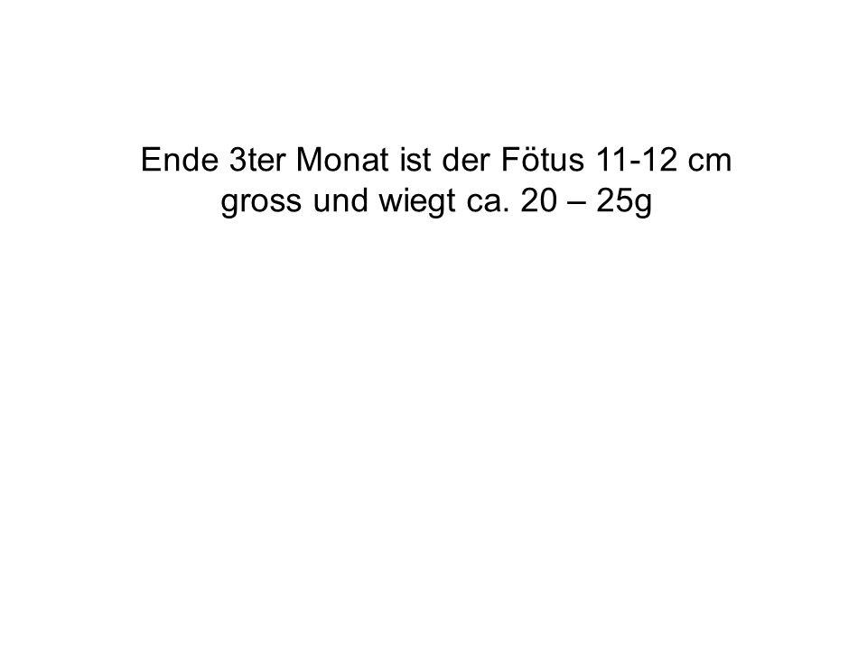 Ende 3ter Monat ist der Fötus 11-12 cm gross und wiegt ca. 20 – 25g