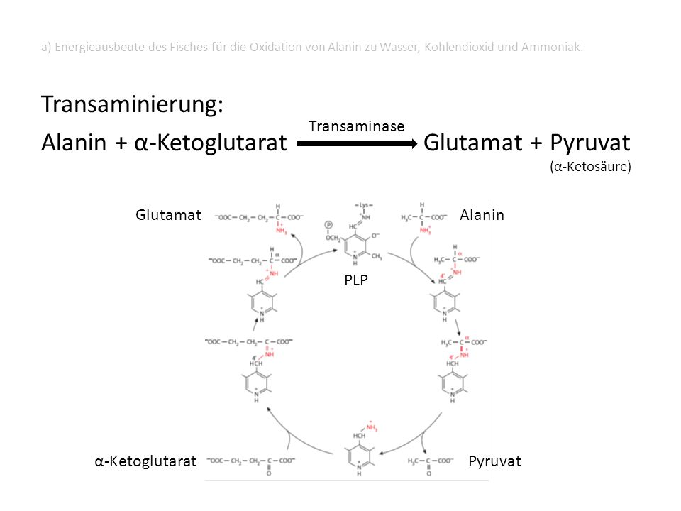 Transaminierung: Alanin + α-Ketoglutarat Glutamat + Pyruvat