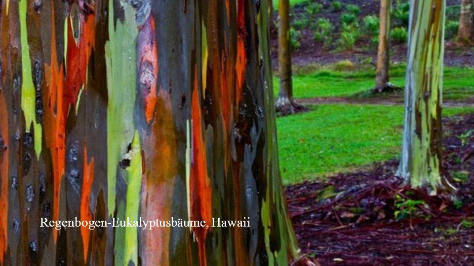 Regenbogen-Eukalyptusbäume, Hawaii