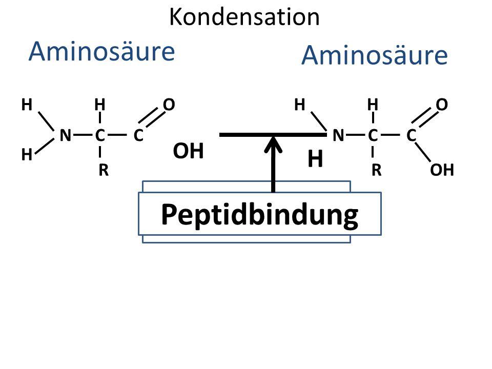 WASSER Peptidbindung Aminosäure Aminosäure Kondensation H OH H H O H H