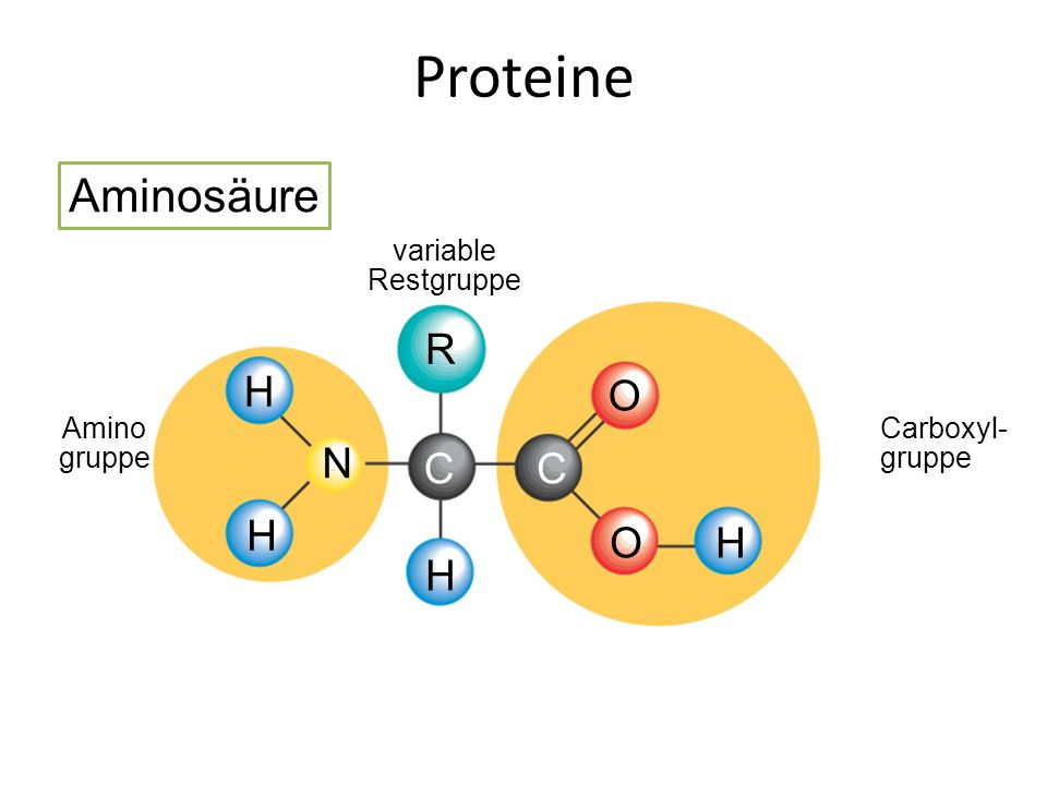 Proteine Aminosäure R O N C H Amino gruppe variable Restgruppe