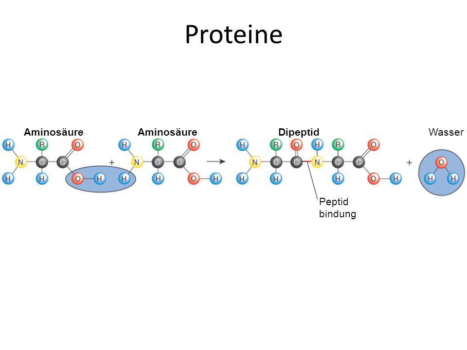 Proteine Aminosäure Dipeptid Peptid bindung Wasser Figure :3-12 Title: