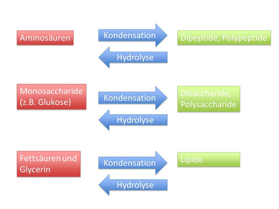 Kondensation Aminosäuren. Dipeptide, Polypeptide. Hydrolyse. Monosaccharide. (z.B. Glukose) Kondensation.