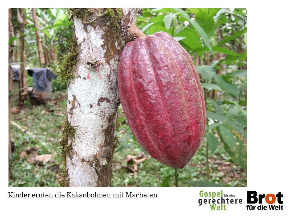 Kinder ernten die Kakaobohnen mit Macheten