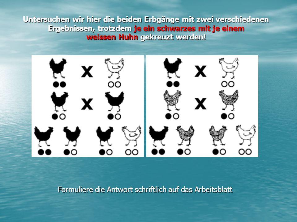Untersuchen wir hier die beiden Erbgänge mit zwei verschiedenen Ergebnissen, trotzdem je ein schwarzes mit je einem weissen Huhn gekreuzt werden!