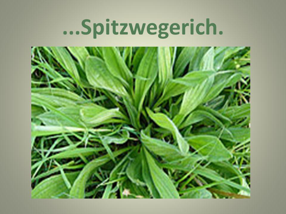 ...Spitzwegerich.
