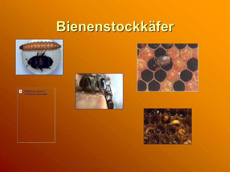 Bienenstockkäfer