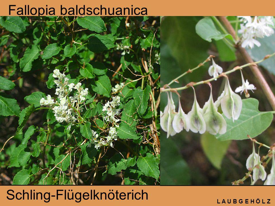 Fallopia baldschuanica