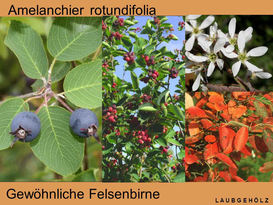 Amelanchier rotundifolia