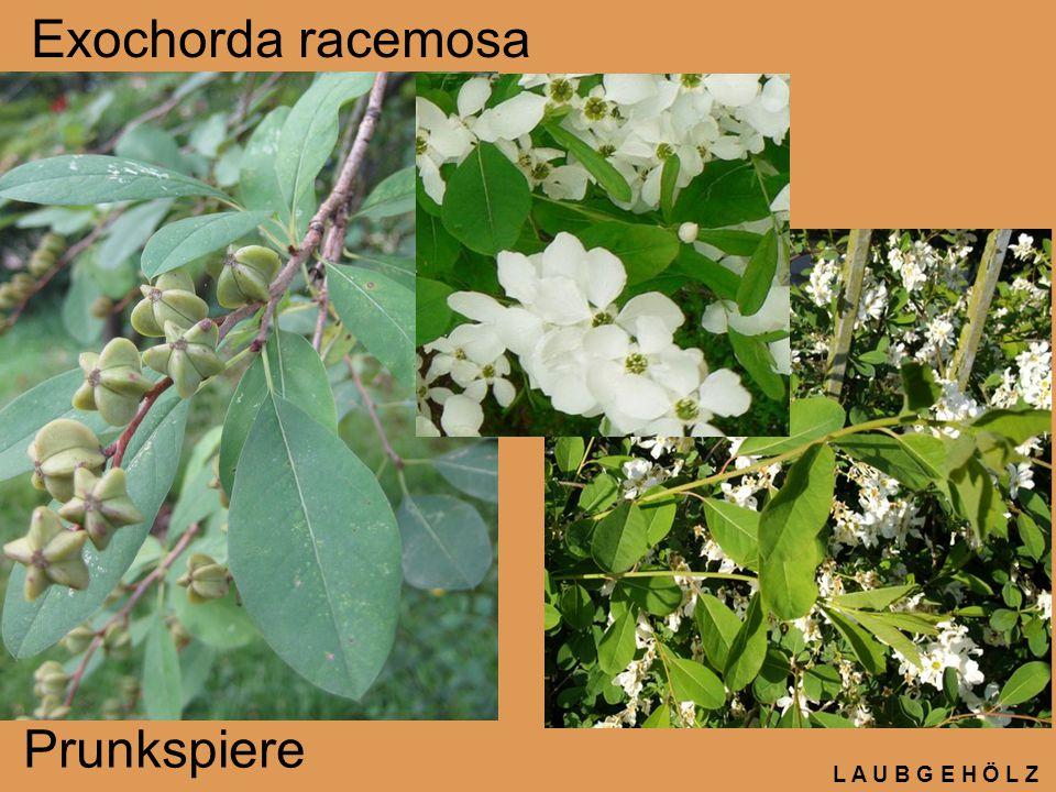 Exochorda racemosa Prunkspiere L A U B G E H Ö L Z