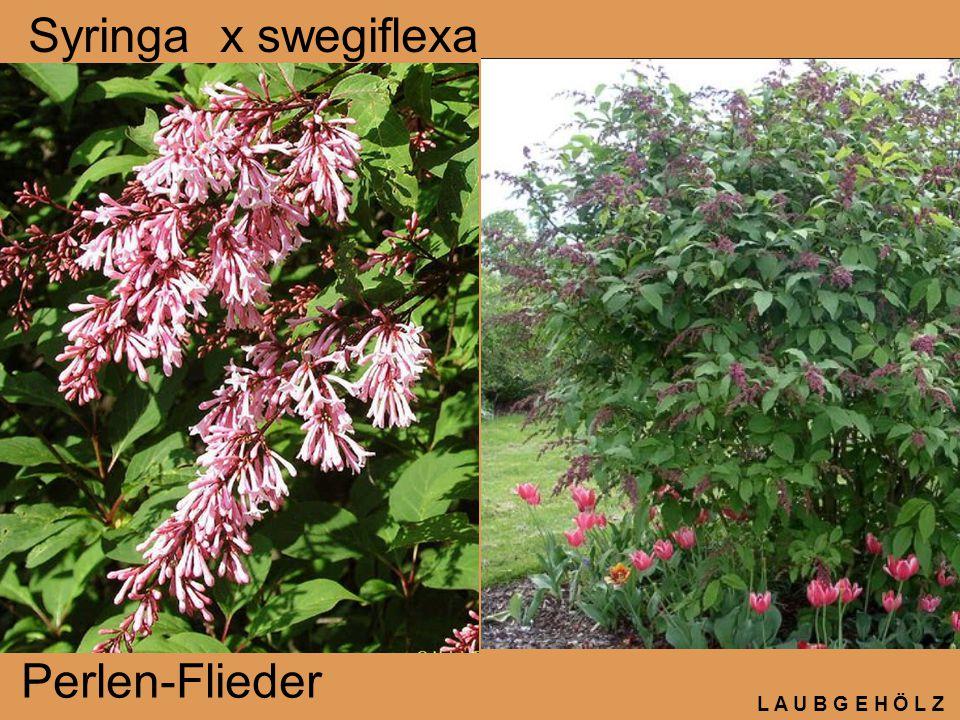 Syringa x swegiflexa Perlen-Flieder L A U B G E H Ö L Z
