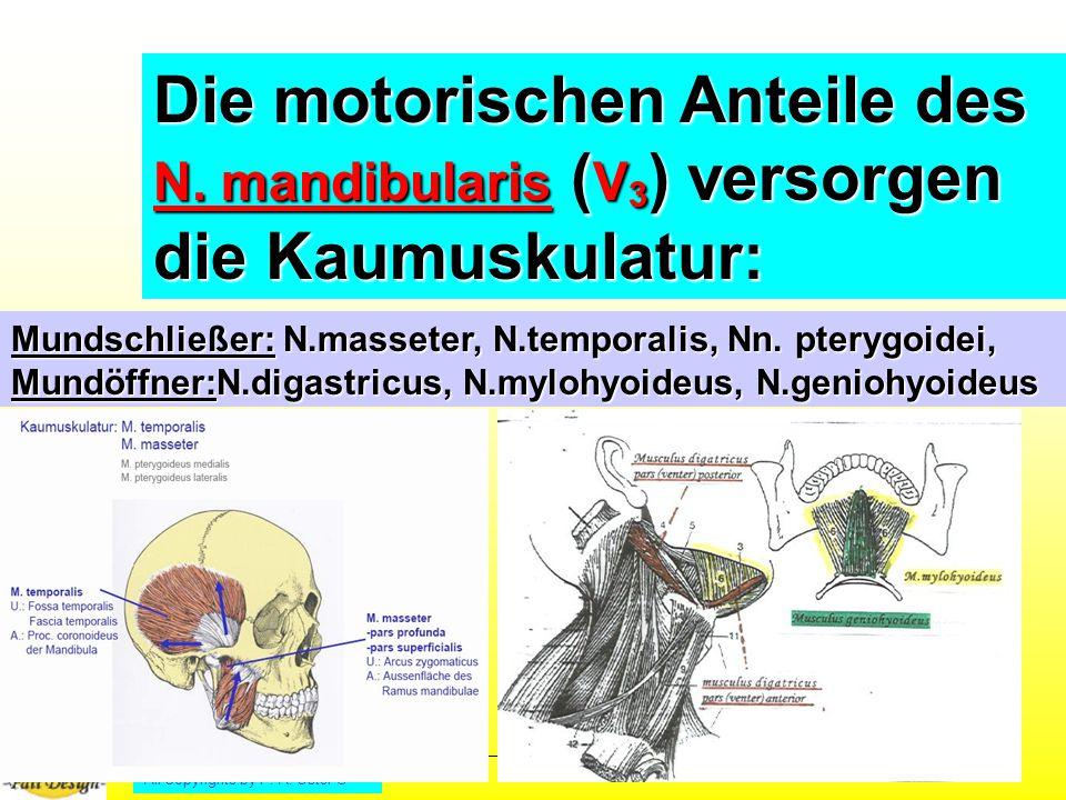 Die motorischen Anteile des N