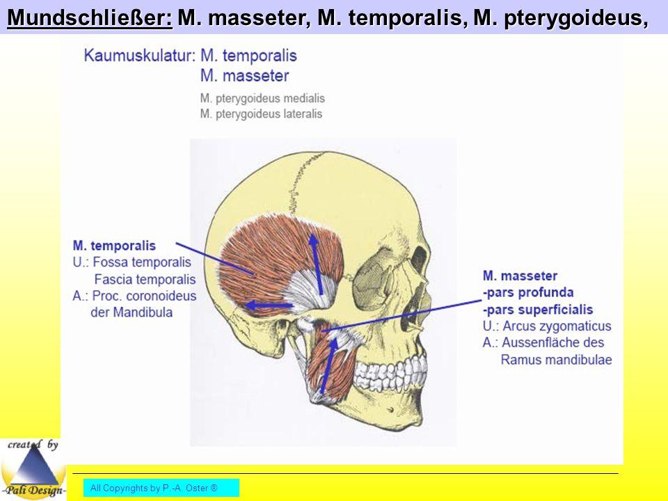 Mundschließer: M. masseter, M. temporalis, M. pterygoideus,